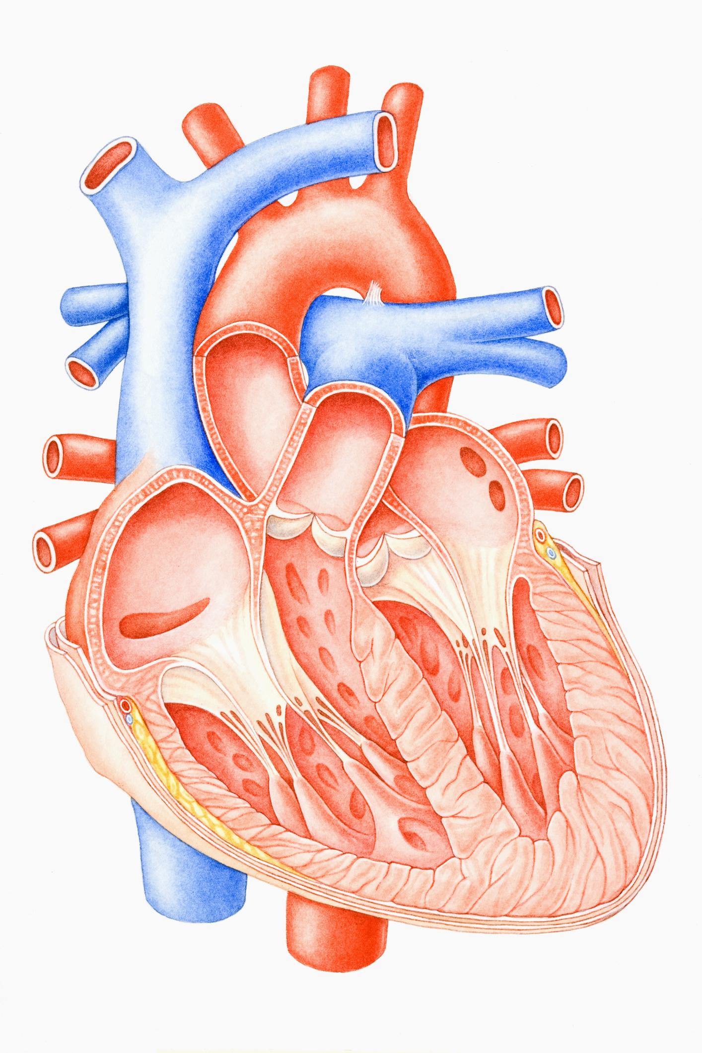 Zeichnung eines menschlichen Herzens. Thema: Digitalisierung im Gesundheitswesen