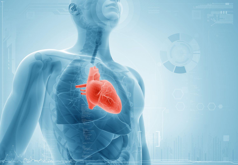 Computerhafte Darstellung eines Menschen: Das Herz ist rot hervorgehoben.