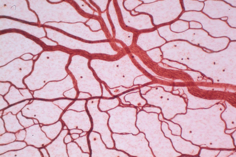 Mikrozirkulation: Detailansicht der Blutgefäße